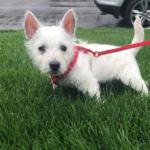 West Highland Terrier puppy on grass