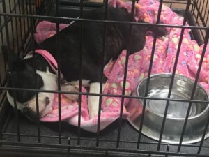 Boston Terrier sleeping crate