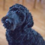 black dog looking up at camera
