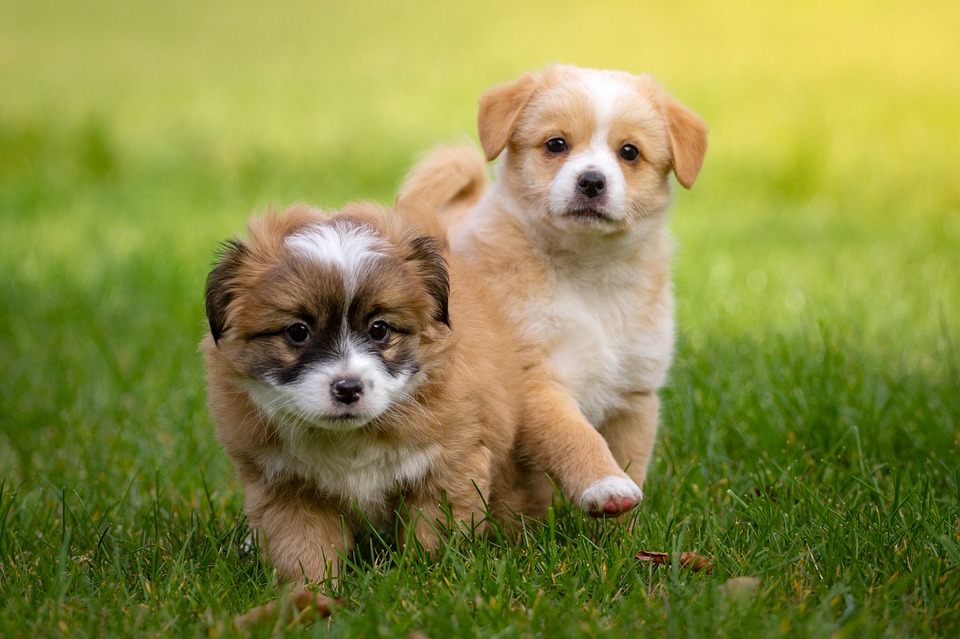Two puppies walking on grass