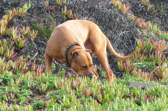 Dog in yard sniffing plants