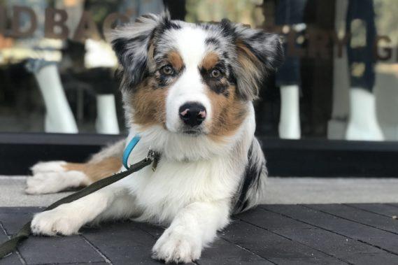Australian Shepherd posing in public