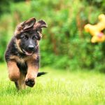 German Shepherd Puppy Running over grass