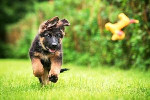 German Shepherd Puppy Running over grass